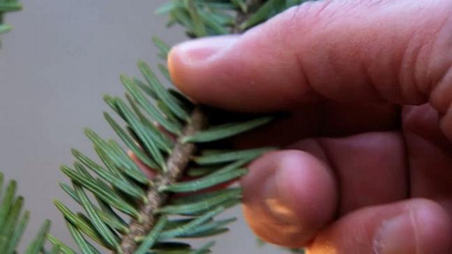 Mit den Händen Prüfen ob der Tannenbaum frisch ist.