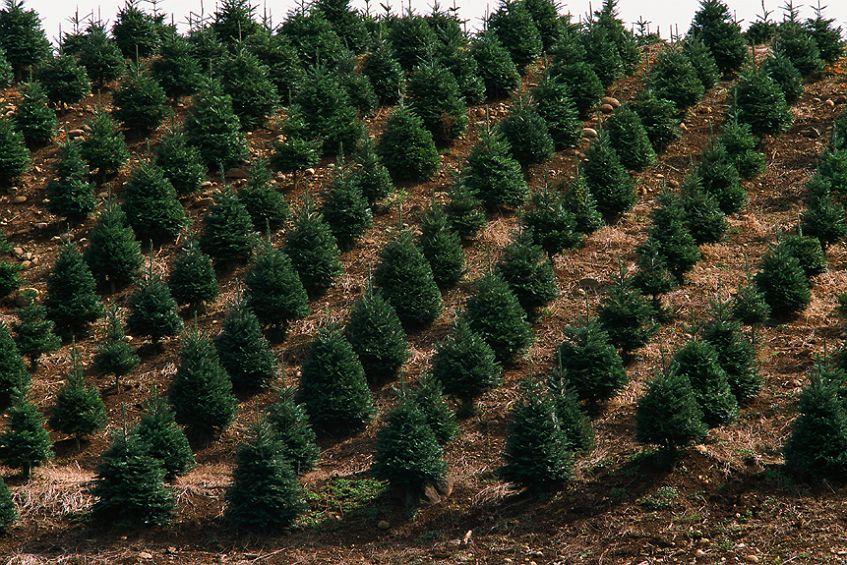 Frische Baumarten für Christbäume